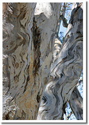 Beautiful textures of river redgums at Barmah